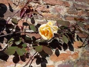 10 Avril 2014: la première rose pointe le bout de son nez…