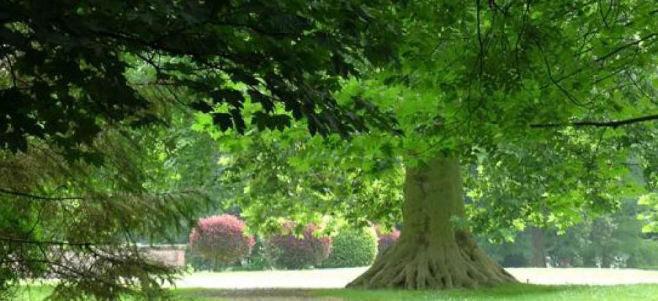 platane a grandes feuilles