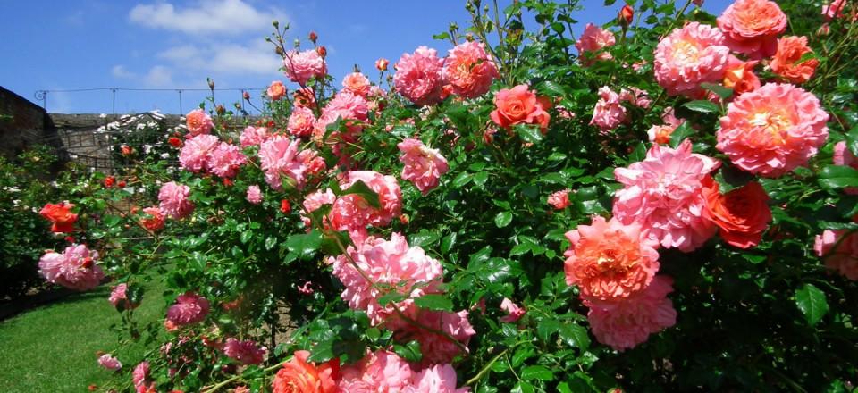 rose de picardie