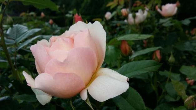 Début de floraison de la roseraie